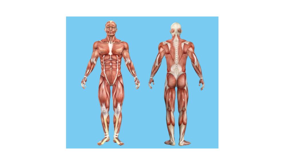 Anatomie Fasziengewebe